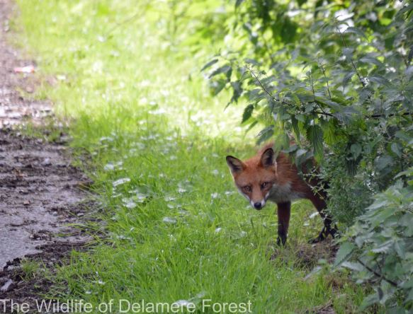 15.07.14. Fox, Delamere Forest. Bill Morton