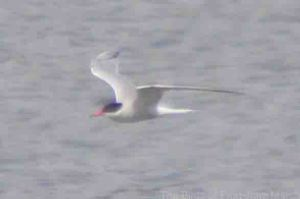 28.07.14. Common Tern (adult) , Weaver Estuary, Frodsham Marsh. Bill Morton
