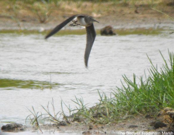 28.07.14 . Green Sandpiper, Shooters' Pools, Frodsham Marsh. Bill Morton