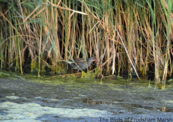 28.07.14. Water Rail, No.6 tank, Frodsham Marsh. Bill Morton