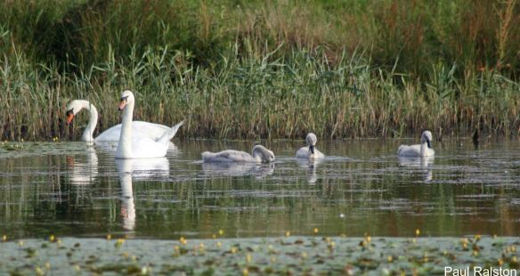 01.07.14. Mute Swan family at the Canal Pools, Frodsham Marsh. Paul Ralston