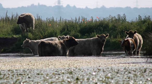 01.07.14. Cattle at the Canal Pools, Frodsham Marsh. Paul Ralston