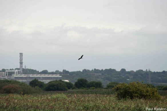 30.07.14. Juvenile Marsh Harrier, No.4 tank, Frodsham Marsh. Paul Ralston