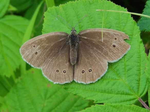 Photo 1 Ringlet FM Jun29th14 7733