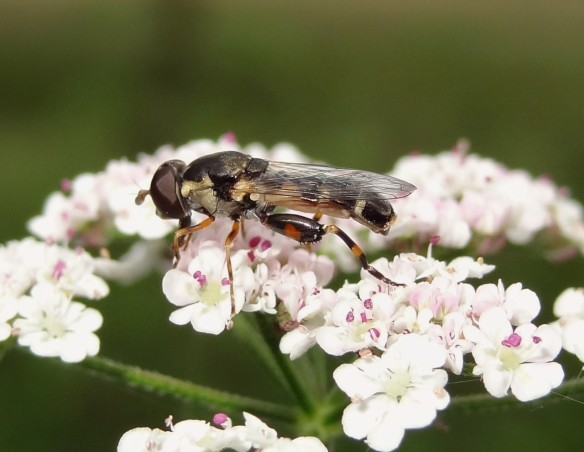 PHOTO 12 Thick-legged Hoverfly Syritta pipiens FM Jul13th14 8297 (1280x992)
