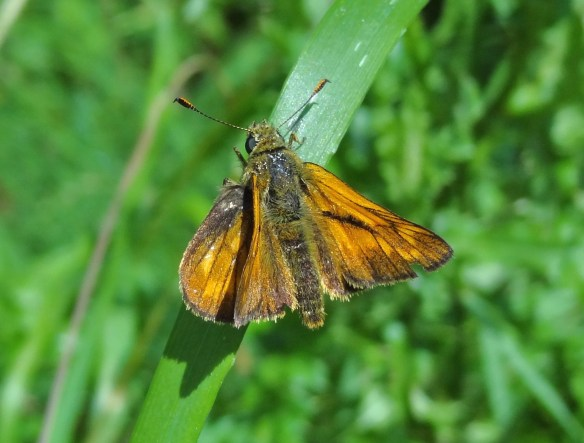 Photo 4 Large Skipper FM Jun29th14 7598