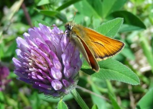 Photo 5 Small Skipper male FM Jun29th14 7814