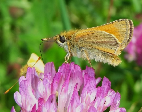 Photo 6 Small Skipper male FM Jun29th14 7811