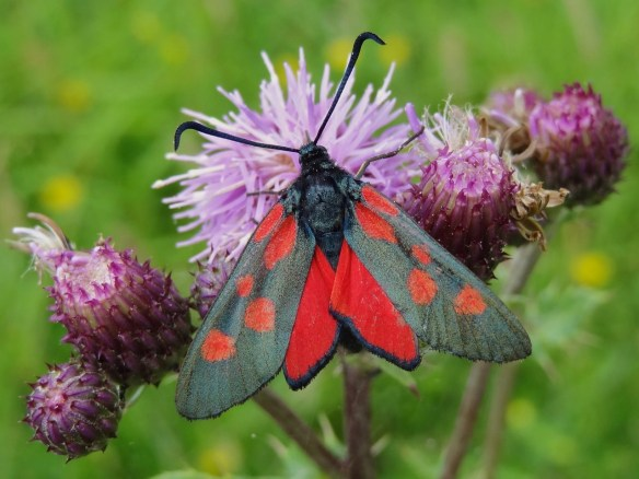 Photo 7 Narrow-bordered Five-spot Burnet FM Jun29th14 7728