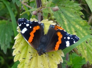 PHOTO 8 Red Admiral FM July13th14 8390 (1280x957)