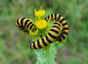 Photo 9 Cinnabar Moth larvae FM Jun29th14 7783