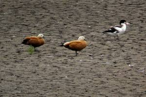 13.08.14. Ruddy Shelduck, No.6 tank, Frodsham Marsh