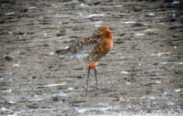14.08.14. Colour-ringed Black-tailed Godwit, No.6 tank, Frodsham Marsh. Bill Morton