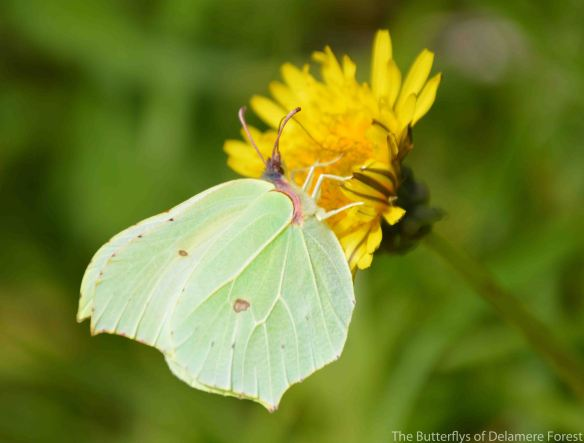 24.08.14.Brimstone Butterfly, Pale Heights, Delamere Forest