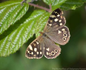 24.08.14. Speckled Wood Butterfly, Pale Heights, Delamere Forest