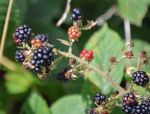 24.08.14. Summer Berries, Delamere Forest. Bill Morton (15)