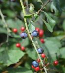24.08.14. Summer Berries, Delamere Forest. Bill Morton (16)