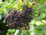 24.08.14. Summer Berries, Delamere Forest. Bill Morton (20)