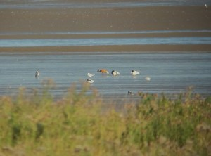 09.08.14. Ruddy Shelduck, Frodsham Score. Tony Broome.