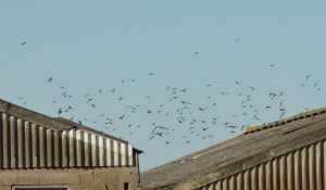 09.08.14. Sand Martins, Marsh Farm. Tony Broome.