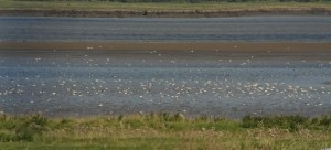09.08.14. Black-tailed Godwit, Frodsham Score. Tony Broome.