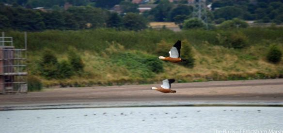 16.08.14. Ruddy Shelduck in flight, No.6 tank, frodsham Marsh. Bill Morton