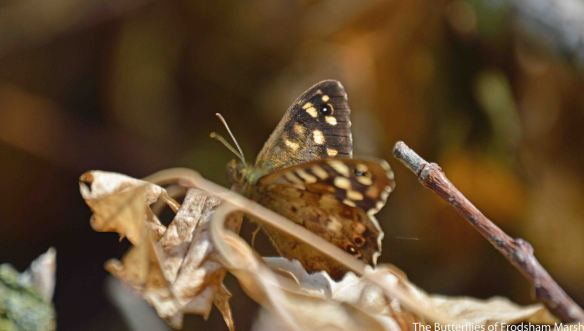 26.08.14.Speckled Wood Butterfly, No.6 tank, frodsham Marsh. Bill Morton