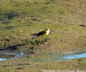 26.08.14. Yellow Wagtail, No.6 tank, frodsham Marsh. Bill Morton