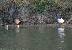 28.08.14. Domestic Duck, No.6 tank, frodsham Marsh. Bill Morton