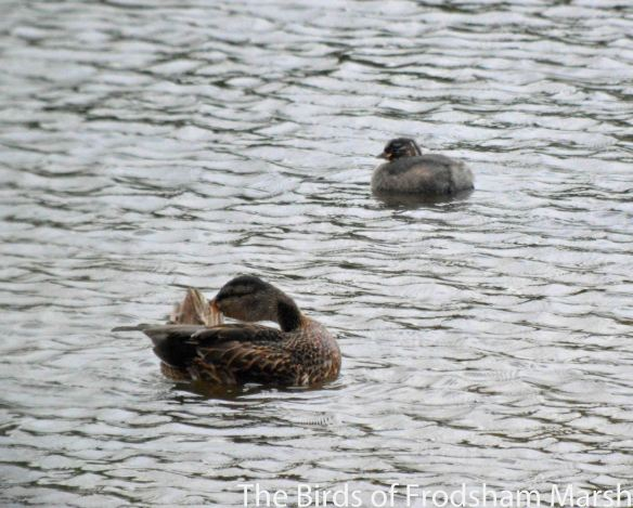 29.08.14. Little Grebe juvenile and Mallard, No.6 tank, Frodsham Marsh. Bill Morton