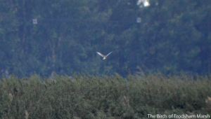 29.08.14. male Marsh Harrier, No.6 tank, Frodsham Marsh. Bill Morton