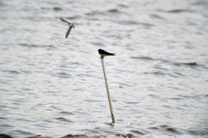 30.08.14. Swallow, River Weaver, Frodsham Marsh. Bill Morton