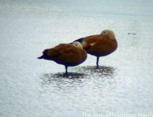 14.08.14. Ruddy Shelduck, No.6 tank, Frodsham Marsh. Bill Morton