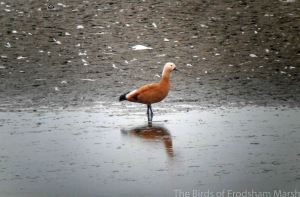 16.08.14. Ruddy Shelduck, No.6 tank, Frodsham Marsh. Bill Morton