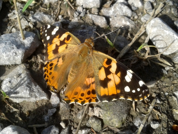 03.08.14. Painted Lady, Frodsham Marsh. Alyn Chambers