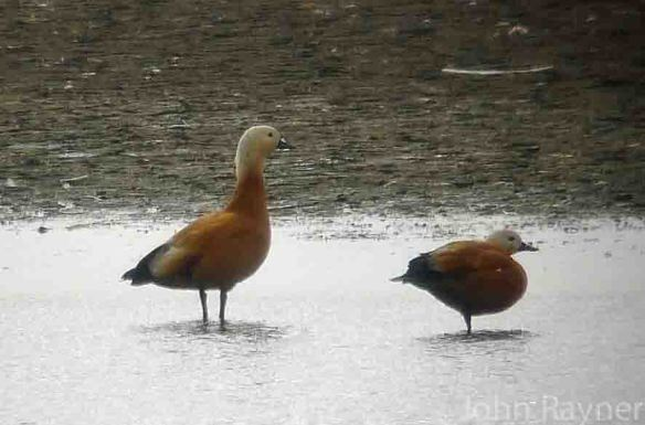 ruddy shelduck frodsham 140814 copy