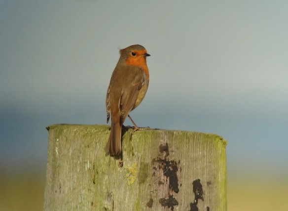 24.08.14. Robin, Marsh Farm, Frodsham Marsh. Tony Broome.