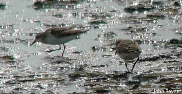 27.08.14. Little Stints, No.6 tank, Frodsham Marsh. John Rayner
