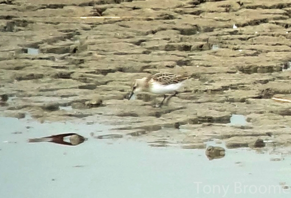 23.08.14. Juvenile Little Stint, No.6 tank, frodsham Marsh.  Tony Broome