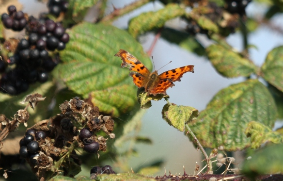 21.09.14. Battered Comma.  No.6 tank, Frodsham Marsh. Heather and Findlay Wilde.
