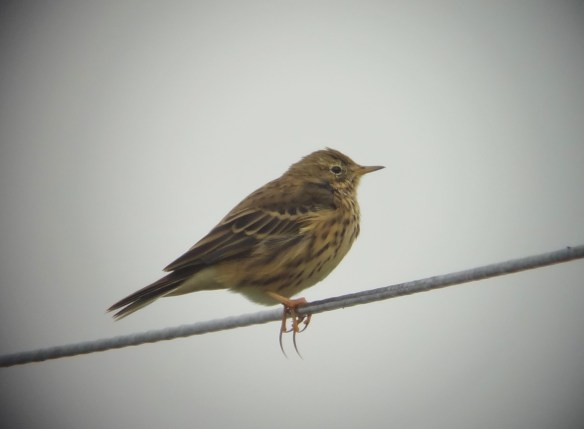 13.09.14. Meadow Pipit, Marsh Farm, Frodsham Marsh.Tony Broome