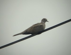 13.09.14. Collared Dove, Marsh Farm, Frodsham Marsh. Tony Broome
