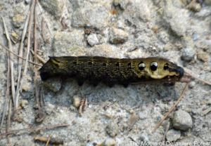 08.09.14. Elephant Hawk Moth Caterpillar, Delamere Forest. Bill Morton