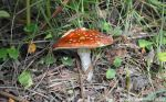08.09.14. Fly Agaric fungi, Delamere Forest. Bill Morton