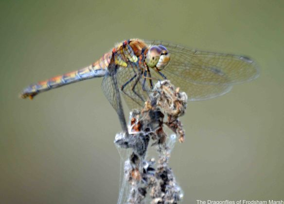 10.09.14. female Common Darter? Frodsham Marsh. Bill Morton