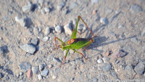 10.09.14. Speckled Bush Cricket, Frodsham Marsh. Bill Morton.
