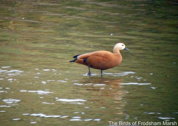 30.09.14. Ruddy Shelduck, No.6 tank, Frodsham Marsh. Bill Morton