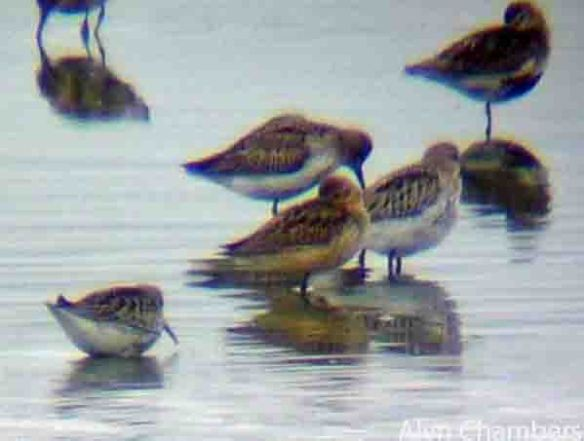 06.09.14. 'Orange' Dunlin, No.6 tank, Frodsham Marsh Alyn Chambers