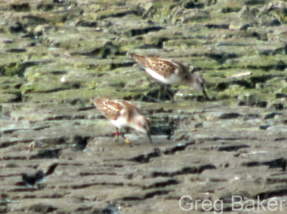 09.09.14. Little Stint (colour-ringed), No.6 tank, Frodsham Marsh. Greg Baker.