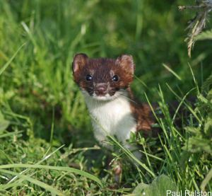11.09.14. Stoat, Frodsham Marsh. Paul Ralston